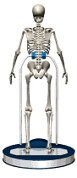 Skelett - Osteoporose Zentrum München